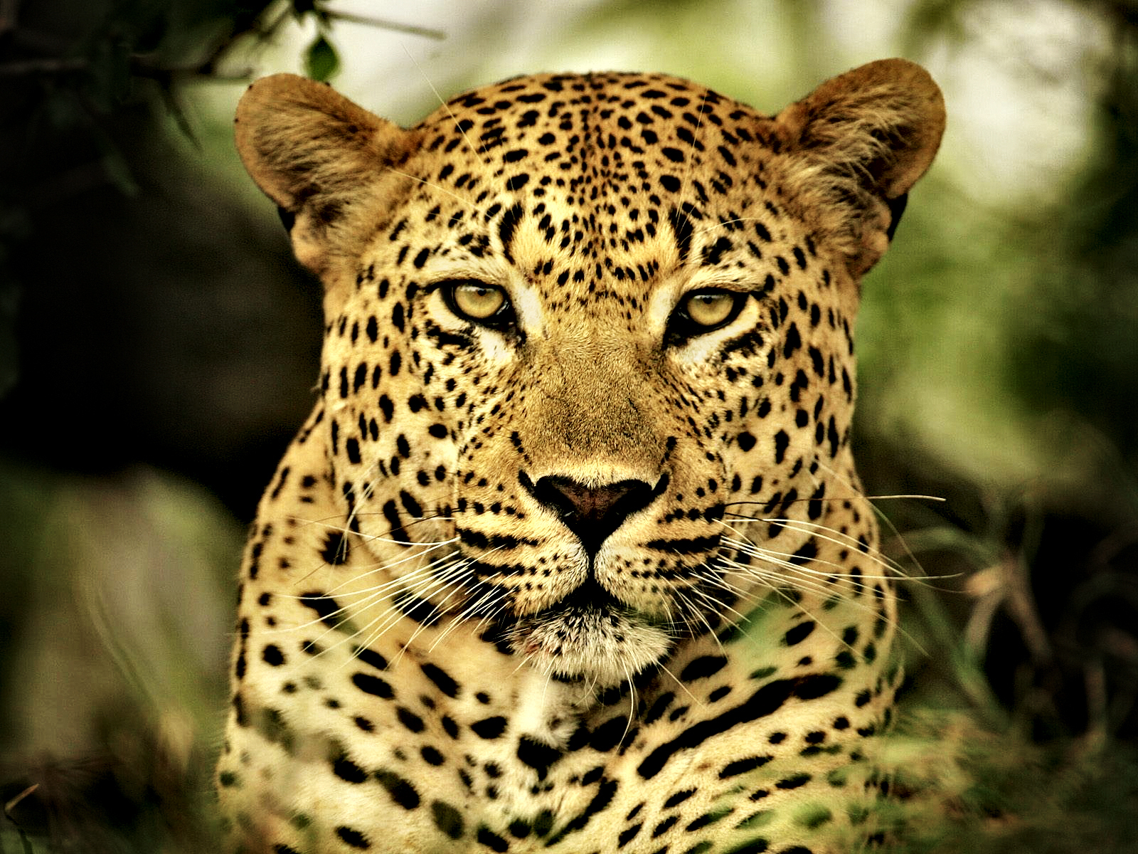 Leopard-01